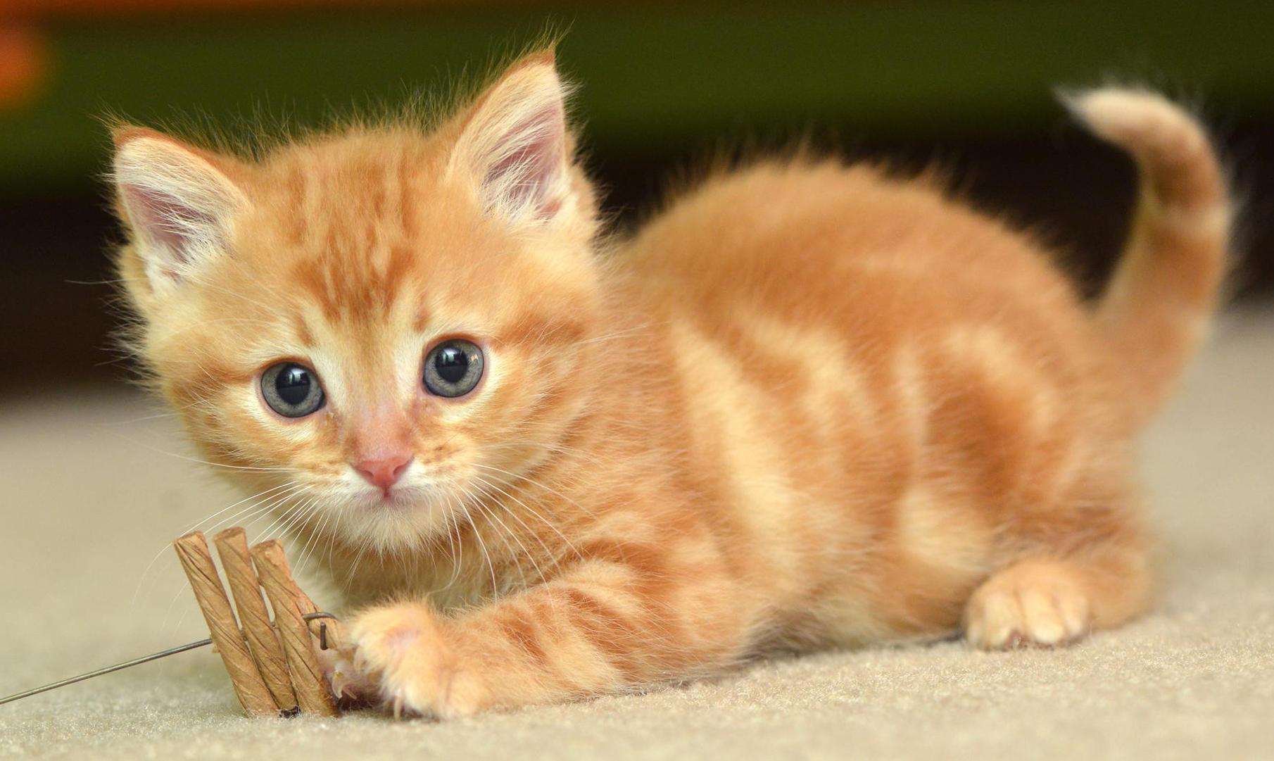 Small Cat Breeds