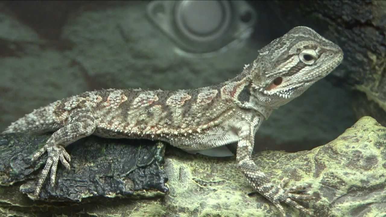 Trimming Iguana Nails